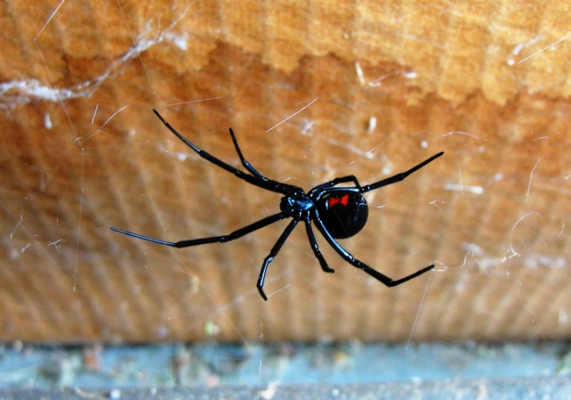 Black Widow Spider - Arachnid - Scary Anthropoda - Poisonous Spider