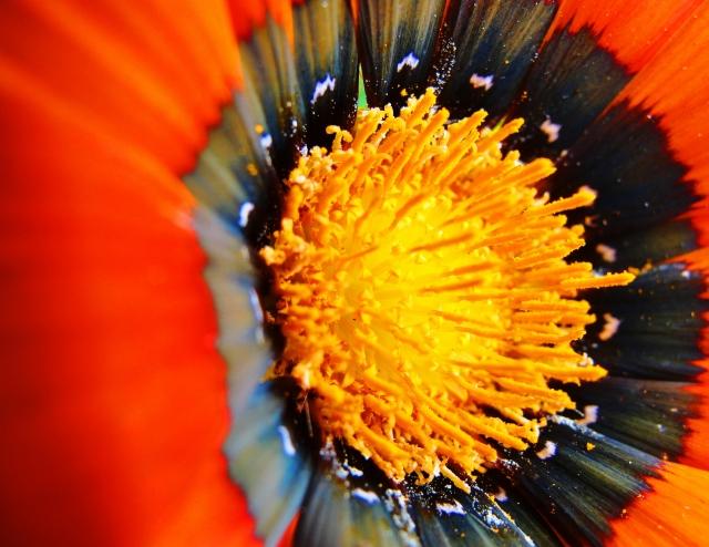 Sydney Daisies - Asteraceae - Daisy - North Ryde, Australia - Closeup of Daisy Center - Zeiss Closeup Lens