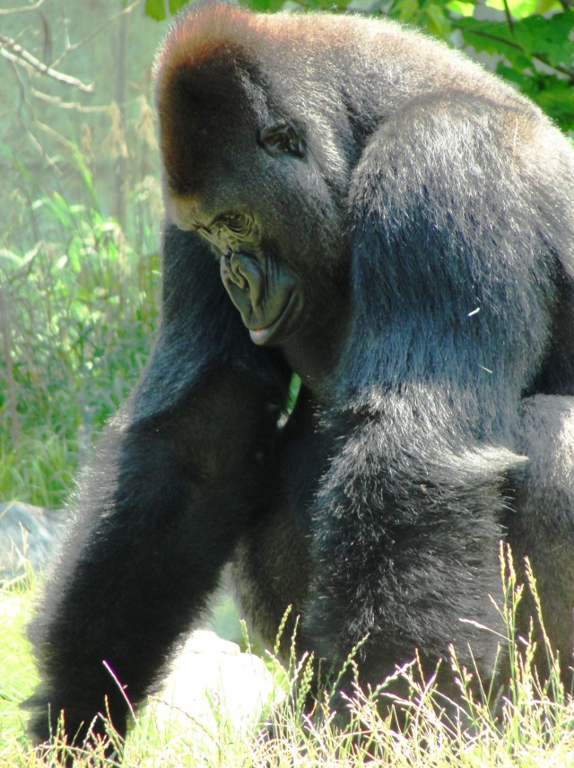 Western Lowland Gorilla - Omaha Henry Doorly Zoo - Hubbard Gorilla Valley - The One and Only Ivan - Newberry Award