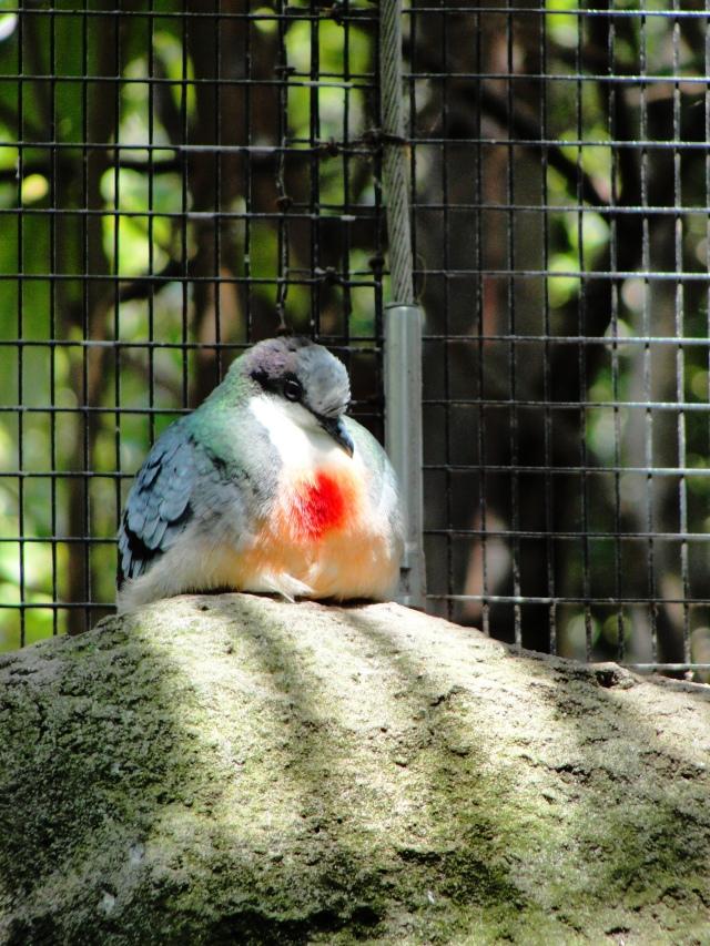 Luzon Bleeding-Heart Pigeon