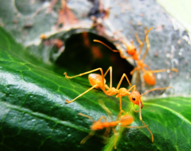 golden ants - Bangalore India - Indian Ants - Large Ants - Flora and Fauna