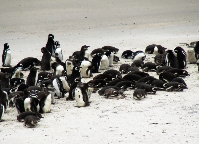 Waddle of Penguins in the Falkland Islands - Magelannic Penguins - Yorke Bay -Magellanic penguins, Spheniscus magellanicus - Gypsy Cove