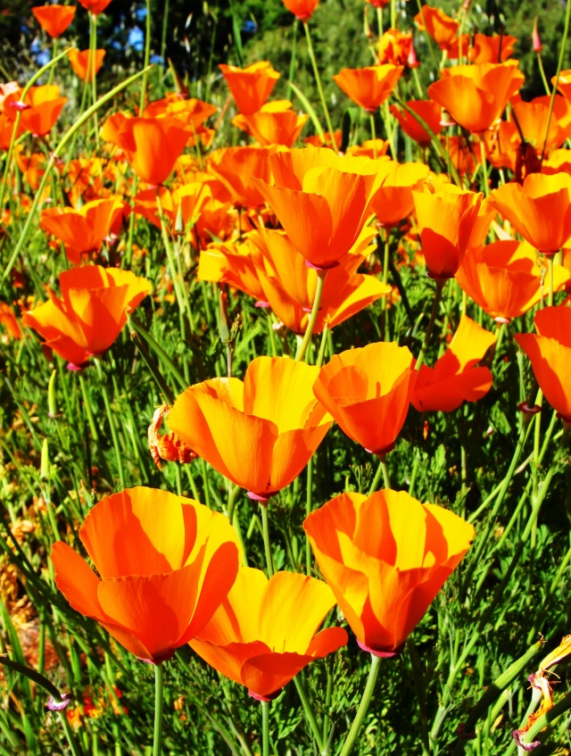 California Poppies, California State Flower - California Poppy - Eschscholzia californica