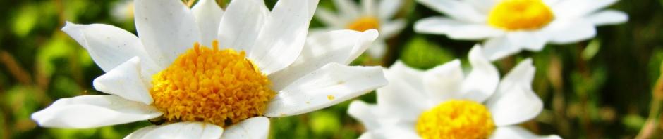 white flowers, focus fade