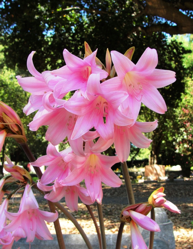 Pink liliesLycoris squamigera or more commonly know as resurrection lilies.