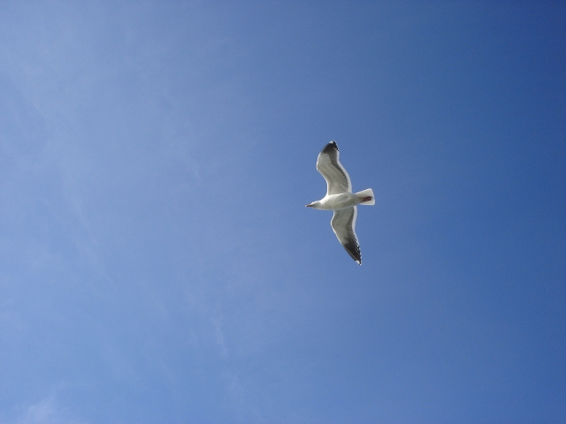Sea Gull at Cayucos, California