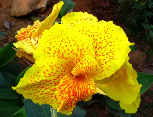Canna Indica - Yellow Flower - India