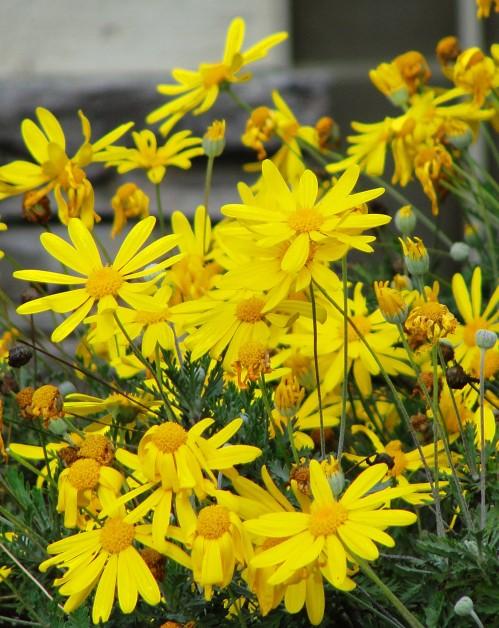 Yellow Daisies - Flowers