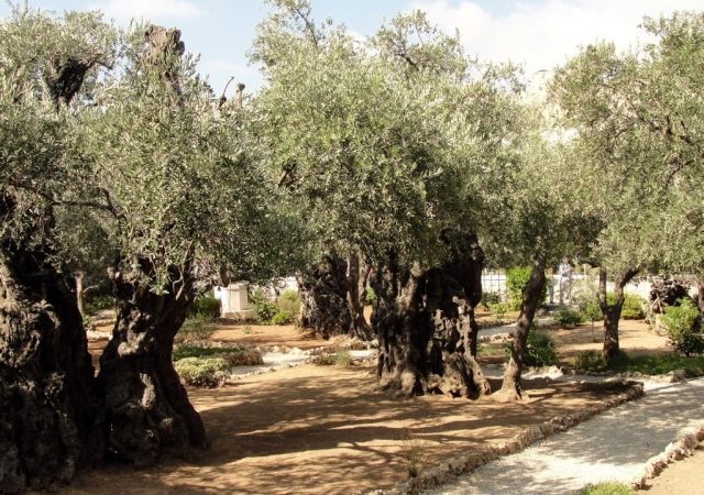 Garden of Gethsemane, Olive Trees, Old Olive Trees, Holy Land Flora