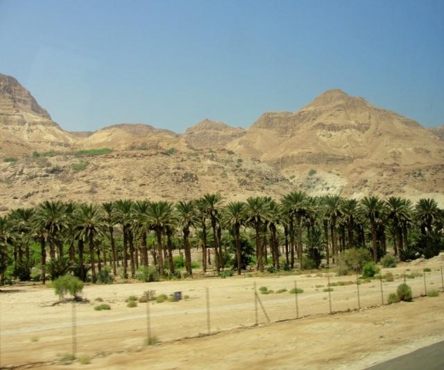 Ein Ghedi, Date Palms, Holy Land Flora, Dead Sea, Below Sea Level
