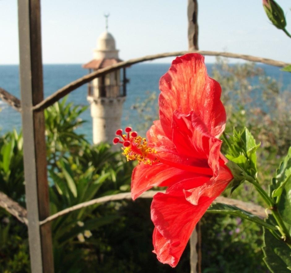 Hibiscus, Joppa, Israel, Holy Land Flora