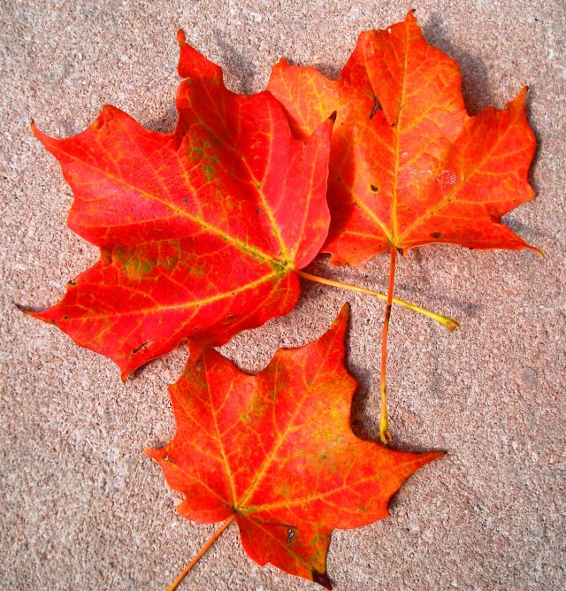 Beautiful Red Fall Leaves from Crawfordsville, Indiana - Lew Wallace Study Museum