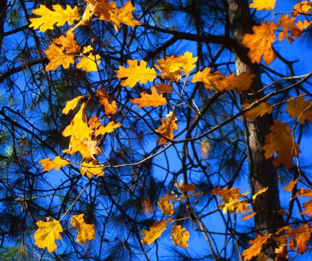 Beautiful Yellow Leaves in Groveland, California - Fall leaves