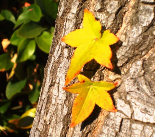 Yellow leaves growing on a tree trunk - Tracy, California - Afternoon Walk