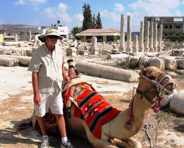 Dromedary Camel at Samaria - Camelus dromedarius