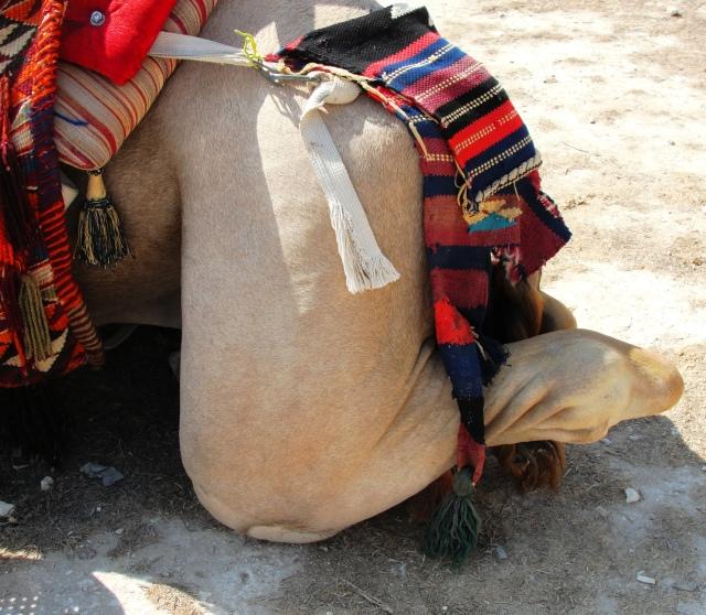 Kneeling Dromedary Camel - Stifle Joint - Camelus dromedarius