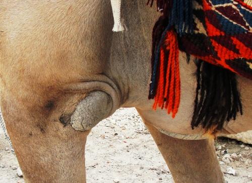 Knee of a dromedary camel