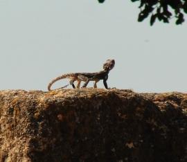 Tel-Hazor Lizard Stone Hazor - Lizard - Archaeology - Ruins - Biblical Site