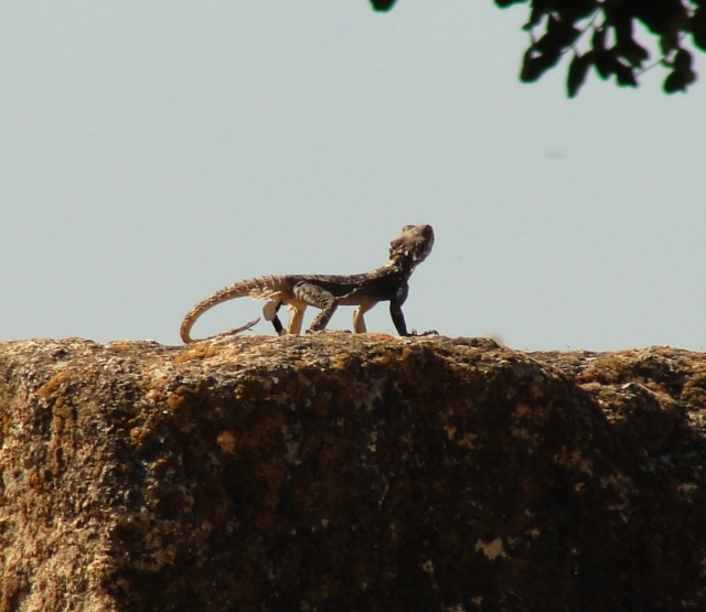 Tel-Hazor Lizard Stone Hazor