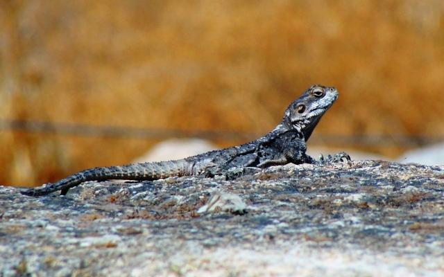 Hazor Lizard Tel-Hazor