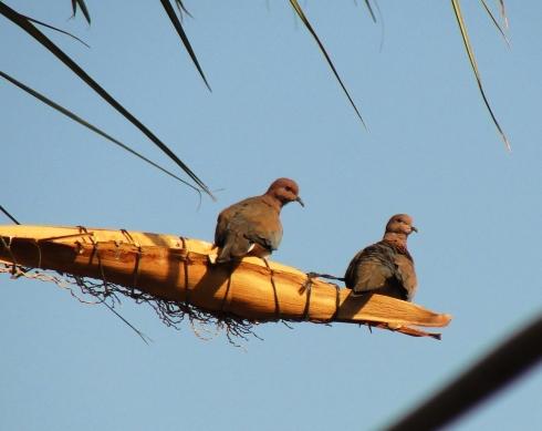 Laughing Dove - Spilopelia senegalensis - Jericho