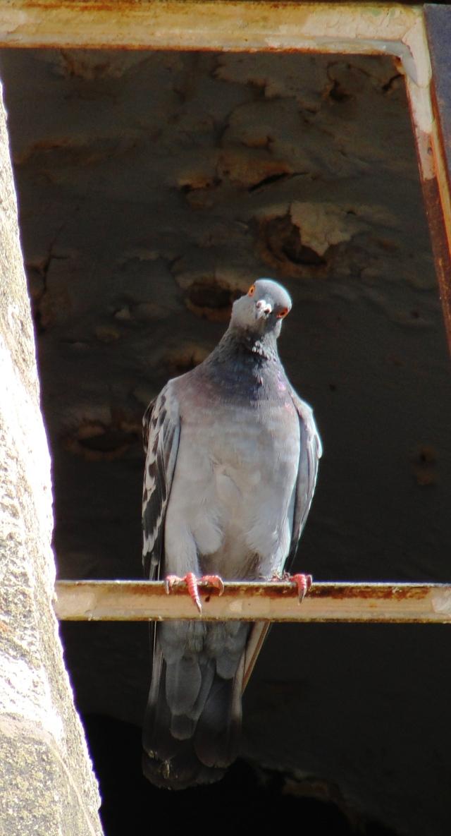 Columba livia - Rock Dove or Rock Pigeon