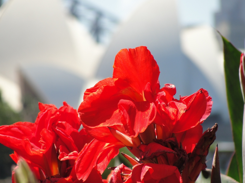 Sydney Opera House - Red Canna Lillies - Royal Botanical Gardens