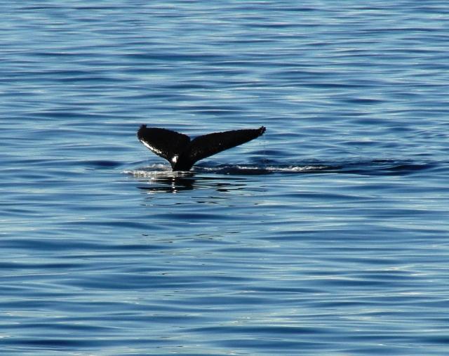 Orca near Melchior Island, Antarctica