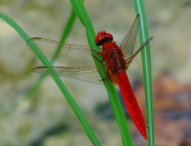 Trithemis kirbyi dragonfly at the Spring of Harod - Gideon's Spring - Dragonfly - Biblical Site - Nature - Red Dragonfly