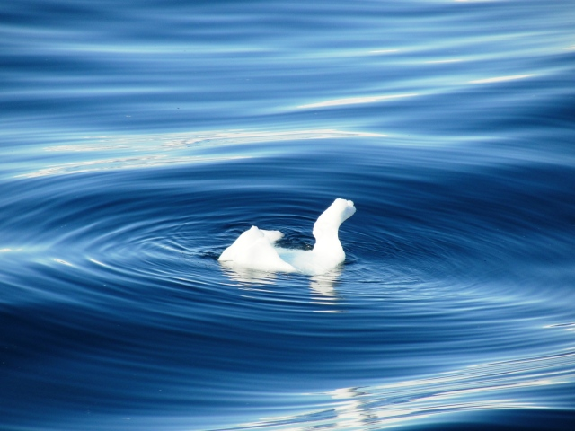 Swan shaped piece of ice in Paradise Bay, Antarctica