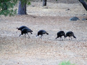 Flock of Wild Turkeys - Groveland, California - Thanksgiving - Turkey Time