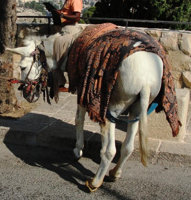 Donkey - Mount of Olives - Election 2012