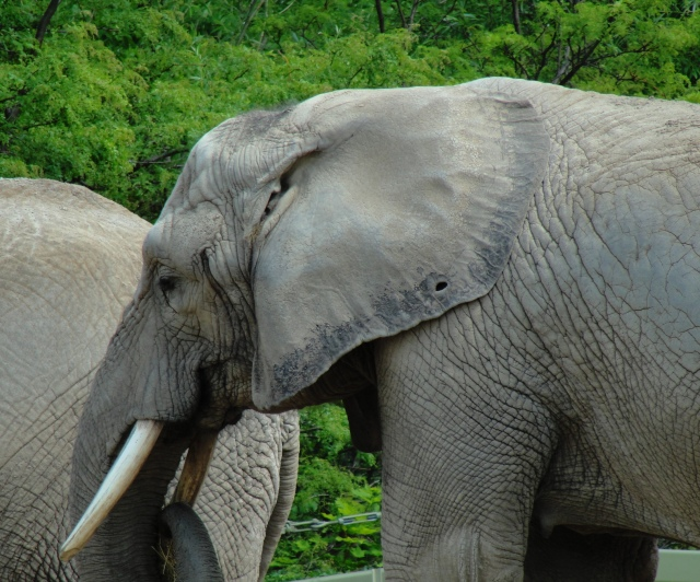 Elephant at Toronto Zoo - Election 2012