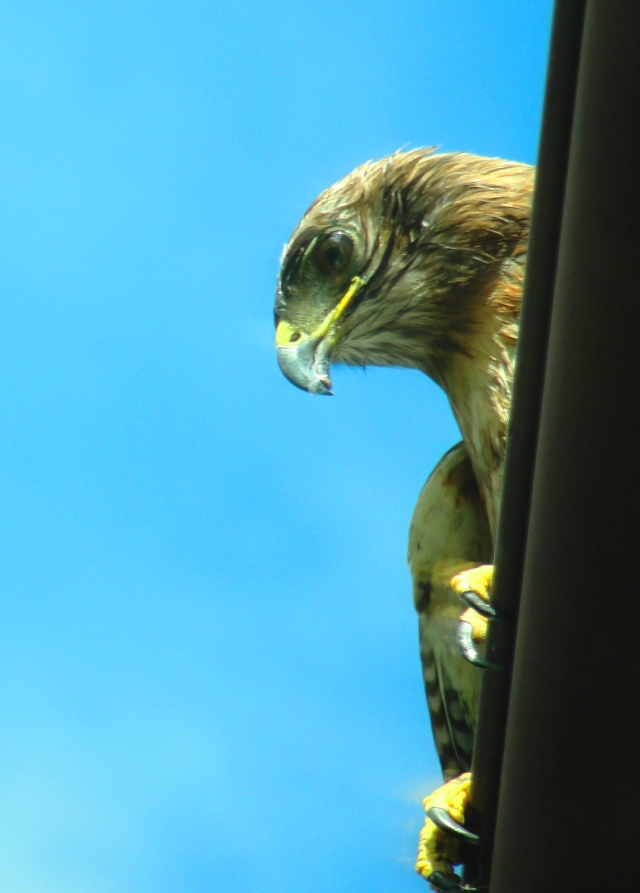 Red Tailed Hawk - San Ramon - Golf Club - Close up of Hawk