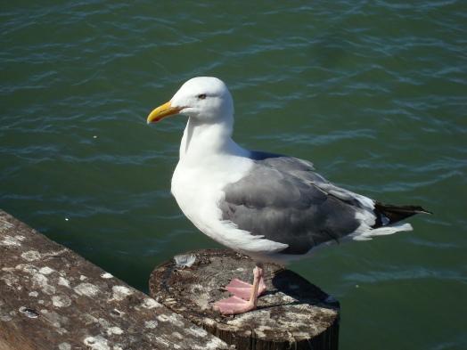 Western Gull (Larus occidentalis) in San Francisco