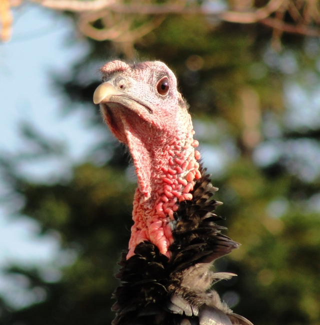 Wild Turkey Head - Dublin, California - Thanksgiving