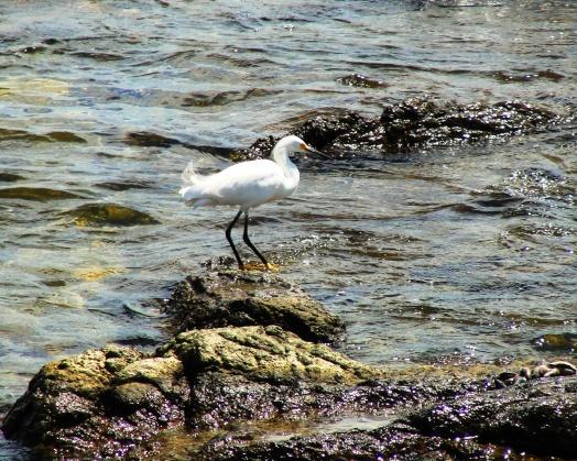 Snowy Egret (Egretta thula) in Punta del Esta, Uruguay