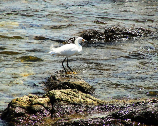 Snowy Egret (Egretta thula) in Punta del Esta, Uraguay
