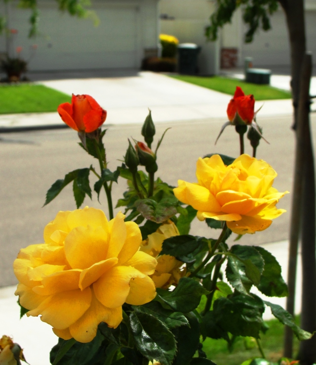 Rose blooms - Different color on same bush - Red and Yellow