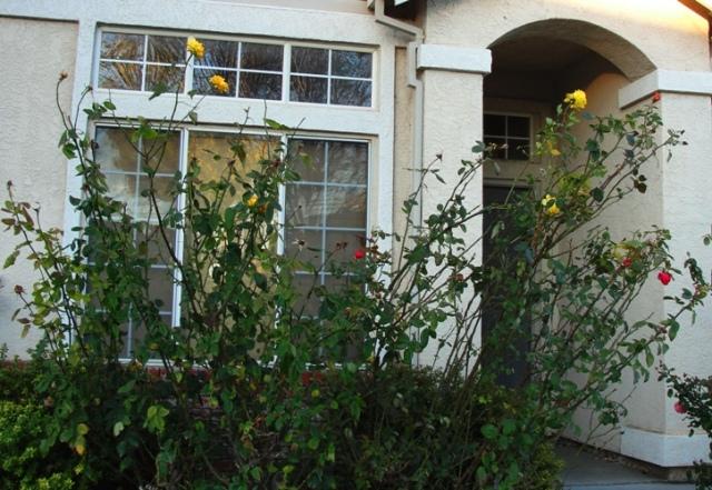 December Roses - Before Pruning - Rose Pruning - Winter Pruning