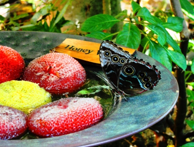 Blue Morpho Butterfly - Morpho peleides - Henry Doorly Zoo - Omaha, Nebraska