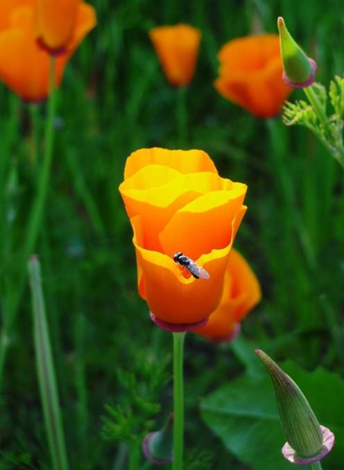 California poppy bramans wanderings california poppy eschscholzia californica the state flower of california mightylinksfo