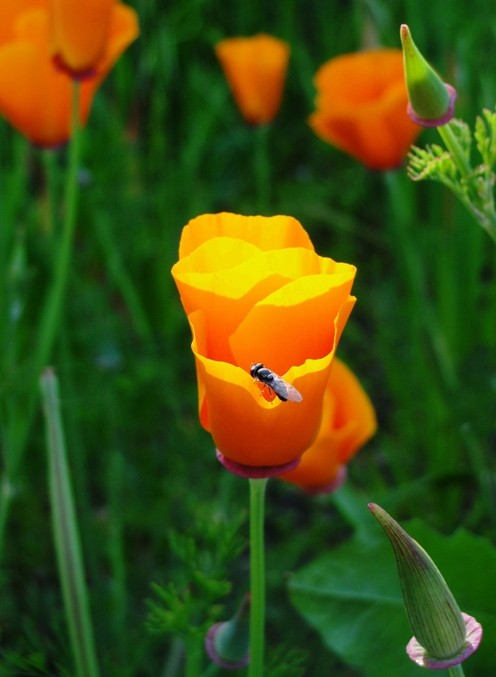California Poppy - Eschscholzia californica - The State Flower of California