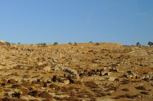 Hill Country of Ephraim - Ehud - Judges - Animals on hillside - Israel - Palestine