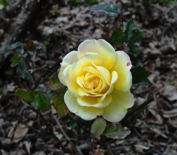 January Rose - Minature Rose - Yellow roses - Winter roses