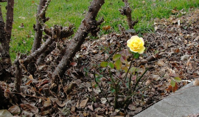 Minature Rose - Yellow Rose - Last Bloom - First Bloom - Small Rose Bush