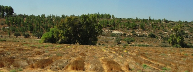 Harvested field in the Shephelah - Israel Harvest