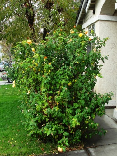 Rose Bush - Yellow Rose - Floribunda - Large Rose Bush