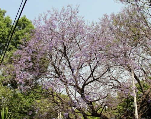 Mexico City - Spring - Jacaranda Tree - Coyoacan - Purple Blooms - Pretoria