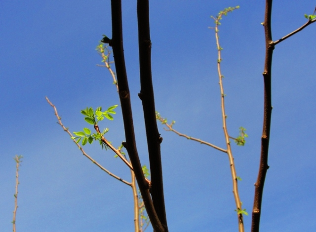 Spring Leaves - First leaves of Spring - Silouettes - Blue Sky